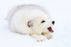 Arctic fox barking. At another fox Royalty Free Stock Photography