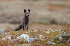 Arctic fox In a autumn landscape stock photography