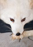 Arctic Fox and claws Royalty Free Stock Photos