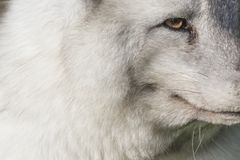 Arctic fox close up portrait over exposed. With fur and eye detail during autumn Royalty Free Stock Images