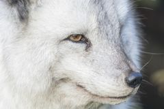 Arctic fox close up portrait over exposed. With fur and eye detail during autumn Stock Photo