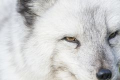 Arctic fox close up portrait over exposed. With fur and eye detail during autumn Royalty Free Stock Photos
