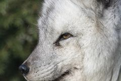 Arctic fox close up portrait over exposed. With fur and eye detail during autumn Royalty Free Stock Image