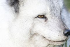 Arctic fox close up portrait over exposed. With fur and eye detail during autumn Stock Image