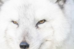 Arctic fox close up portrait over exposed. With fur and eye detail during autumn Royalty Free Stock Photography