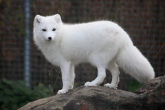 Arctic fox. Close up shot of arctic fox portrait Stock Image