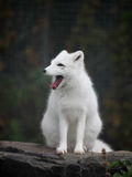 Arctic fox. Close up shot of a arctic fox portrait Stock Photography