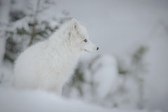Arctic fox. In cold frozen winter setting Royalty Free Stock Images