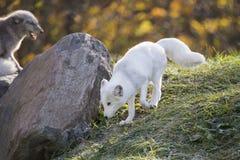 Arctic fox couple Stock Photography
