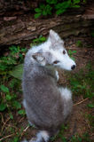 Arctic Fox - cub Royalty Free Stock Images