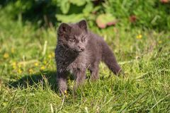 Arctic fox cub. Beautiful wild animal in the grass. Arctic Fox cub, Vulpes lagopus, cute animal portrait in the nature habitat, grassy meadow in Iceland stock photo