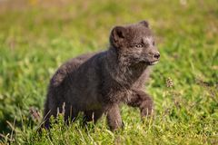 Arctic fox cub. Beautiful wild animal in the grass. Arctic Fox cub, Vulpes lagopus, cute animal portrait in the nature habitat, grassy meadow in Iceland stock images
