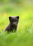 Arctic Fox cub. Isolated Arctic Fox Vulpes lagopus cub in the meadow, Iceland Royalty Free Stock Image