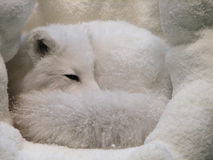 Arctic Fox Curled Up in His Snowy Den stock photo