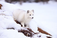 Arctic fox by den. Arctic fox standing in snow Royalty Free Stock Photo