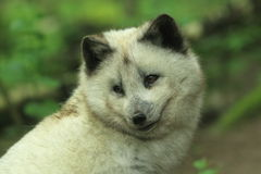 Arctic fox Royalty Free Stock Photos