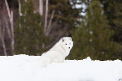 Arctic fox with green background Royalty Free Stock Image