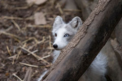 Arctic fox hiding Stock Photos