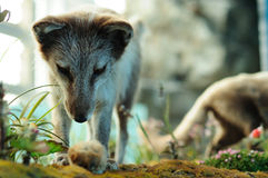 Arctic fox hunting. Model, taken in Hong Kong Wetland Park stock image