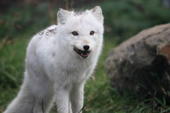 Arctic fox. The arctic fox is hunting for food Royalty Free Stock Images