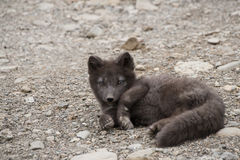 Arctic fox, Iceland. Cub of the arctic fox, Iceland Royalty Free Stock Image
