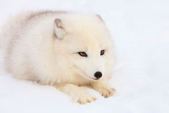 Arctic fox intense gaze. Arctic fox with bright eyes in an intense gaze Royalty Free Stock Images