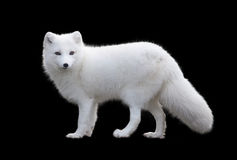 Arctic fox. Isolated by black background Royalty Free Stock Images