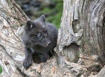Arctic Fox Kit Royalty Free Stock Photos