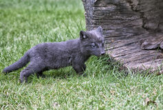 Arctic Fox Kit Royalty Free Stock Photos