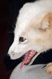 Arctic Fox On Knee Royalty Free Stock Photos