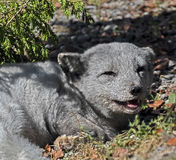 Arctic fox 1 Royalty Free Stock Image
