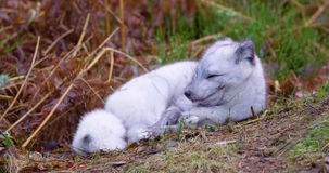 Arctic fox lies and rests at forest floor in the late fall stock video