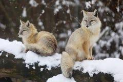 Arctic fox live in arctic and alpine tundra - Vulpes lagopus stock photos