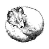Arctic Fox. Lying on snow sketch vector graphics black and white drawing Stock Image