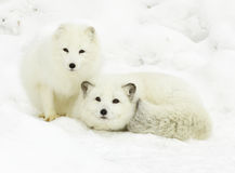 Arctic Fox Pair Stock Images