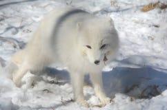 Arctic Fox Pausing Momentarily In Snowy Habitat Royalty Free Stock Photos