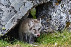 The arctic fox peers out of its hole in the rock and lickens preparing for the hunt. Surrounded by green grass and yellow moss on the fot of black stone Royalty Free Stock Image