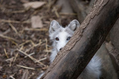 Arctic fox playing Stock Photos