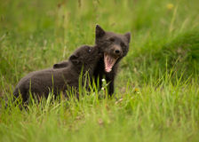 Arctic Fox playing with a cub. Arctic Fox Vulpes lagopus playing with a cub, Iceland Royalty Free Stock Photos