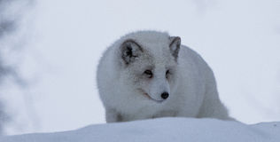 Arctic Fox. In polar park in Troms, Norway Stock Image