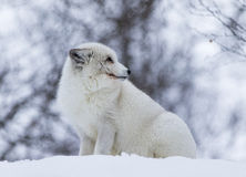 Arctic Fox. In polar park in Troms, Norway Stock Photography