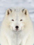 Arctic fox portrait Royalty Free Stock Photo