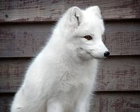 Arctic fox. Portrait against wooden background Stock Photos