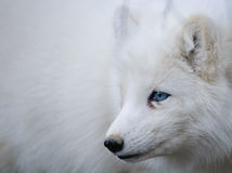 Arctic fox portrait. Arctic fox with blue eyes Royalty Free Stock Images