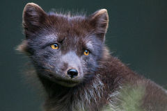 Arctic Fox Portrait Royalty Free Stock Photography