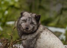 Arctic fox portrait. A portrait of an arctic fox in summer coat stock photography