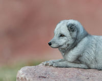Arctic Fox profile portrait Royalty Free Stock Photos