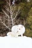 Arctic fox profile in vertical format Royalty Free Stock Photography