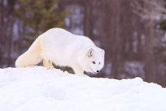 Arctic fox prowling Stock Photography