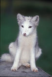Arctic Fox Pup Stock Image